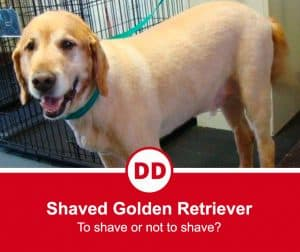 shaved dog image golden retriever