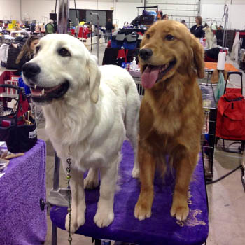different-colored-golden-retrievers