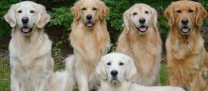 goldens-in-different-colors