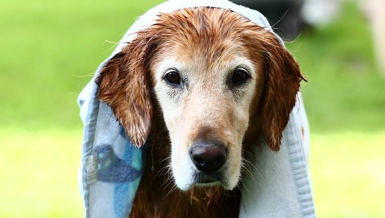Wet dog with towel on head