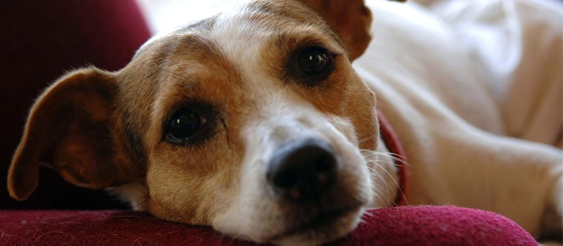 jack-russell-terrier-allergies