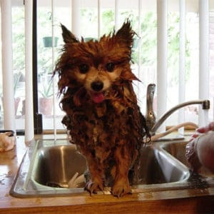 dog in sink washing