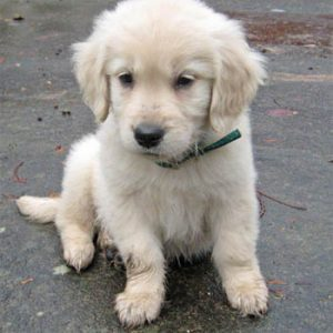 puppy with bowed legs golden retriever