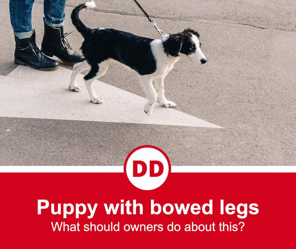 puppy with bowed legs