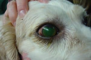 dog eye infected