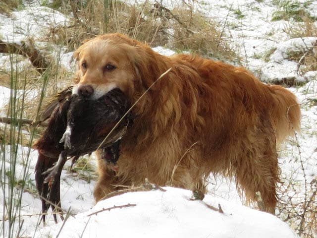 golden retriever eating bird