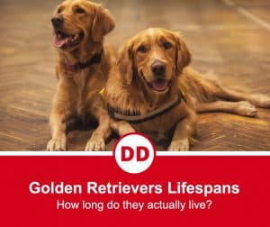 image of two older golden retrievers side by side