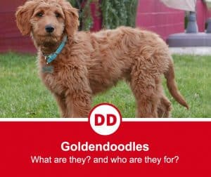 image of goldendoodle dog