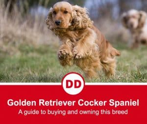 image of golden retriever cocker spaniel mix dog jumping