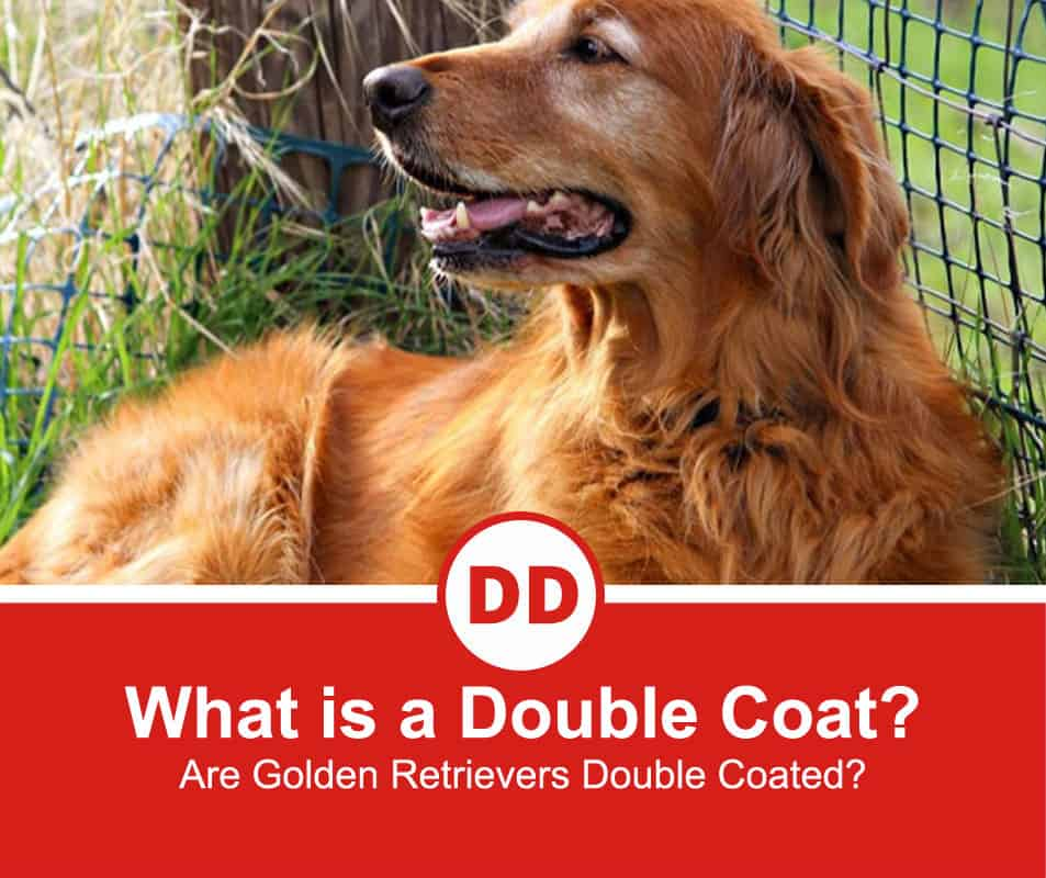 Are-Golden-Retrievers-Double-Coated