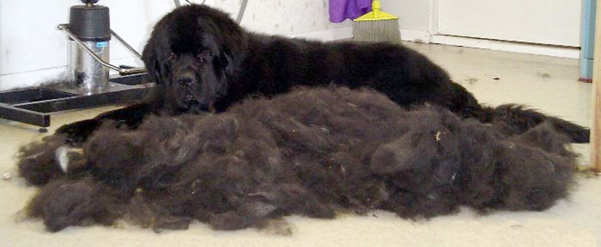 dog shedding alot of hair