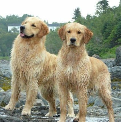 two golden male and female