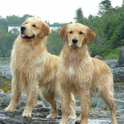 two-golden-male-and-female