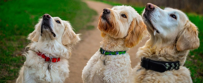 3 dogs including a golden
