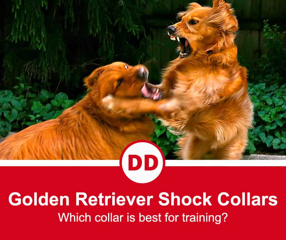 image of two golden retrievers fighting each other