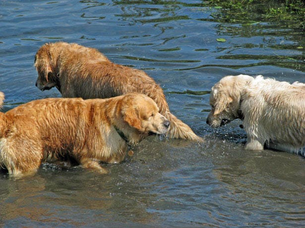 golden retrievers in pond