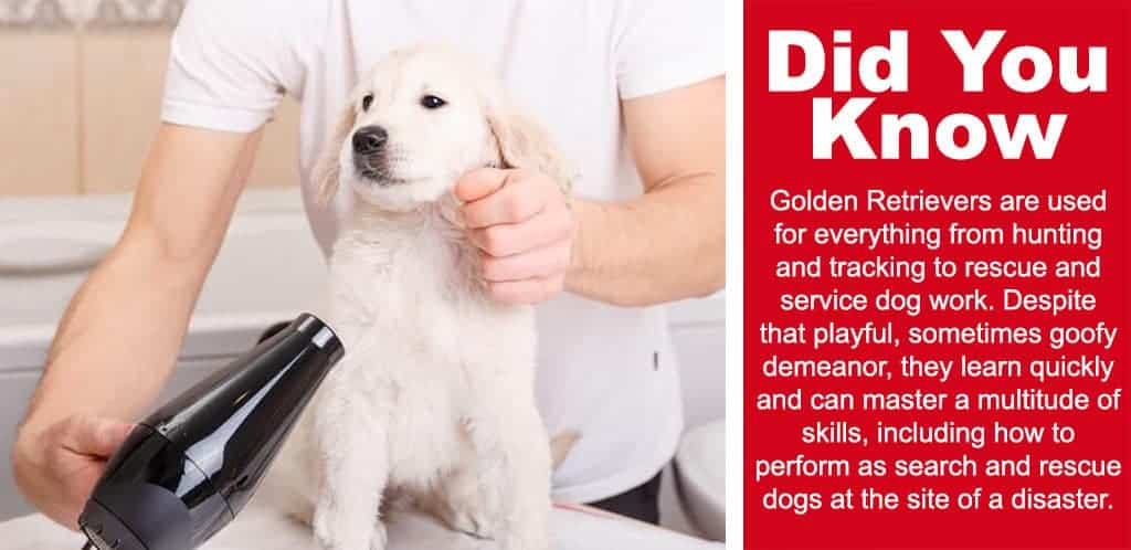 A cool fact to read about golden retrievers, did you know: Golden Retrievers are used for everything from hunting and tracking to rescue and service dog work. Despite that playful, sometimes goofy demeanor, they learn quickly and can master a multitude of skills, including how to perform as search and rescue dogs at the site of a disaster.