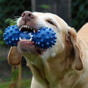 golden retriever eating chew toy