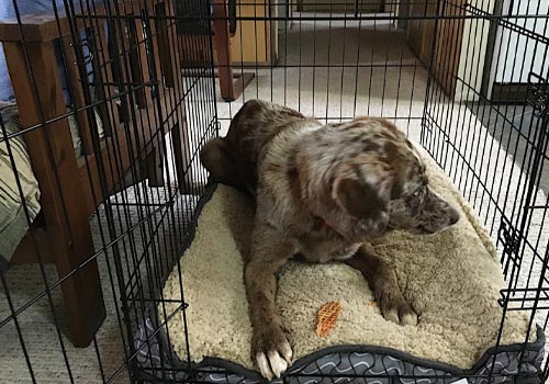 dog laying down in crate