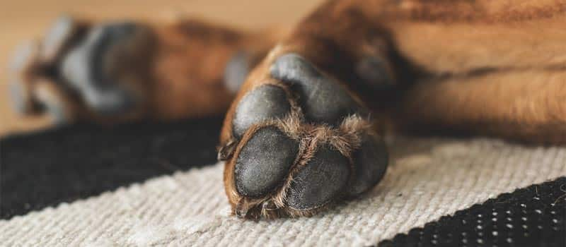 dogs-paw