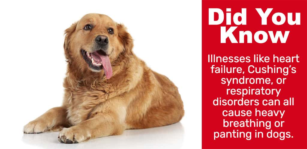 fact about anting dogs- Illnesses like heart failure, Cushing's syndrome, or respiratory disorders can all cause heavy breathing or panting in dogs