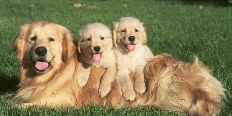 golden puppies with mom