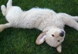 golden retriever puppy lying and rolling in grass