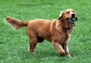 golden retriever with ball in mouth