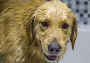 washing a golden retriever