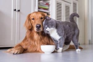 golden and a cat