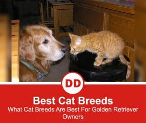 What-Cat-Breeds-Are-Best-For-Golden-Retriever-Owners