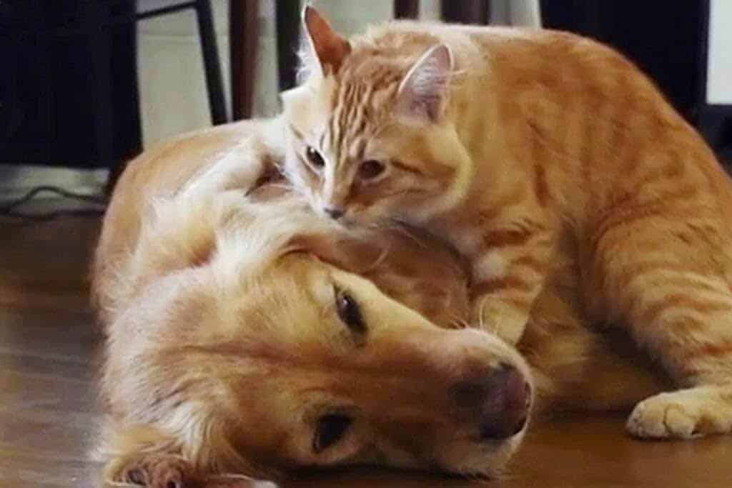 golden-and-cat