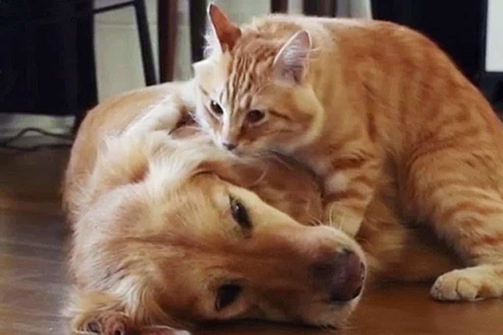 golden and cat 1