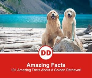 101-Amazing-Facts-About-A-Golden-Retriever-new