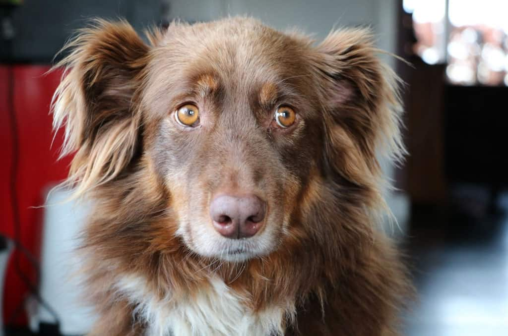 image of Australian shepherd retriever mix