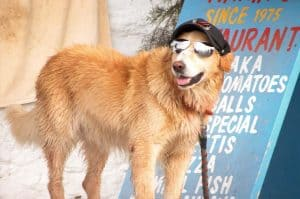image of golden retriever with sunglasses on