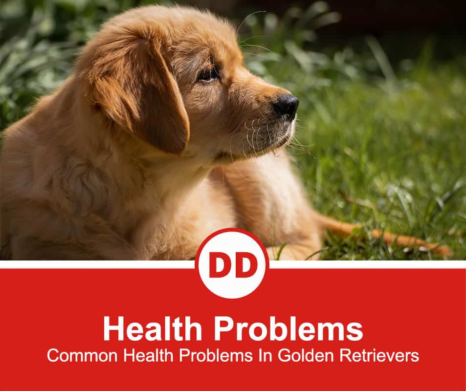 Common-Health-Problems-In-Golden-Retrievers-new