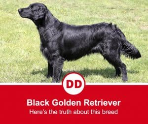 image of black golden retriever