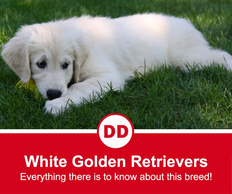 image of white golden retriever