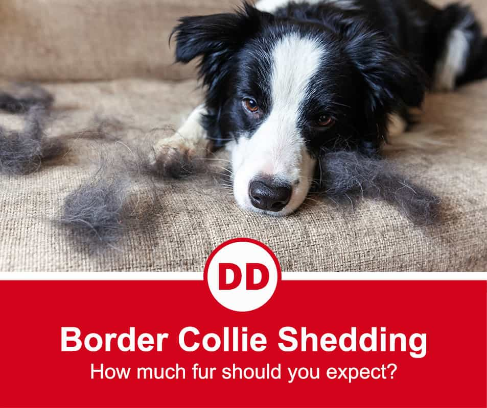 border collie shedding hair over couch