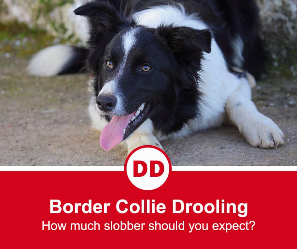 border collie lying down with tongue hanging out after a king run