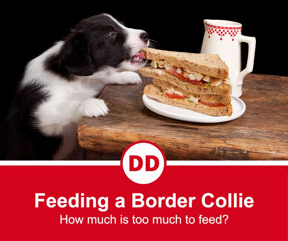 Border collie eating a sandwich from off the side of the kitchen table