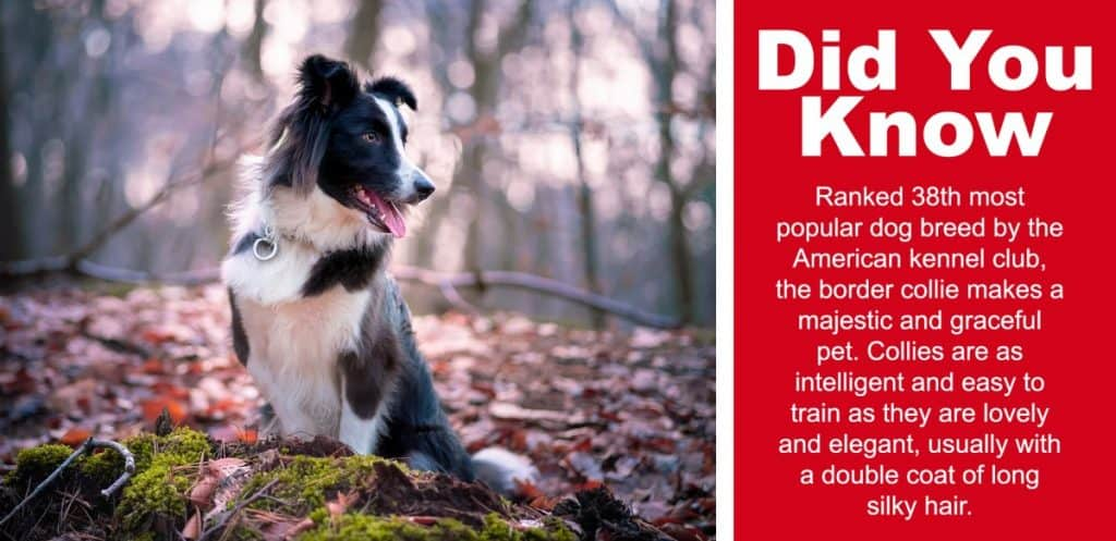 image for Do Border Collies Drool A Lot