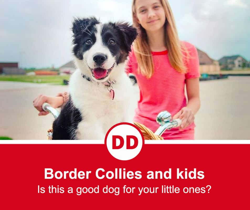 are border collies good with kids image with young girl on the bike with her Border collie sitting in the front basket