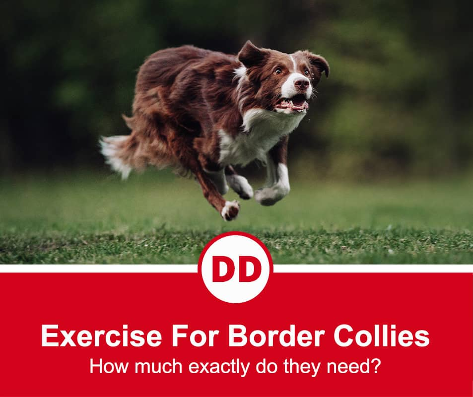 border collie running through the grass to show how much exercise they need