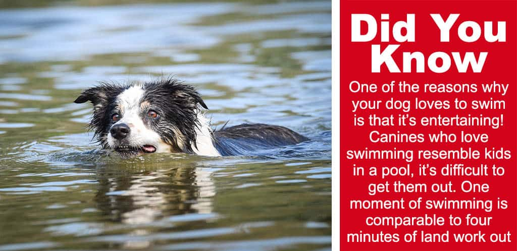 custom image on why dogs love to swim so much