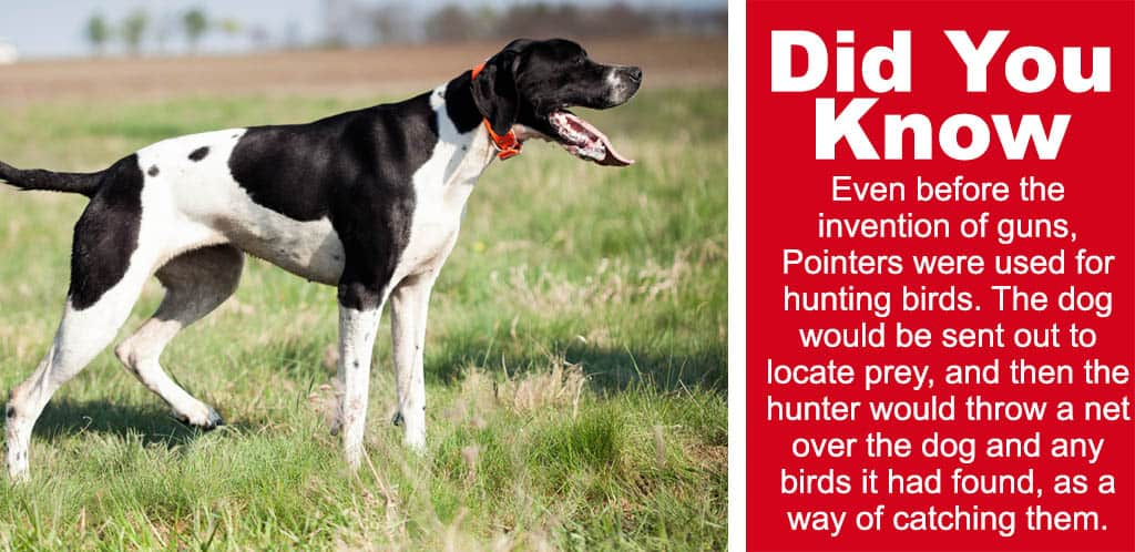 english pointer out on the hunt with intense focus and a fun fact Even before the invention of guns, Pointers were used for hunting birds. The dog would be sent out to locate prey, and then the hunter would throw a net over the dog and any birds it had found, as a way of catching them