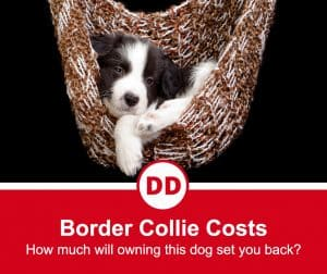 how much do border collies cost