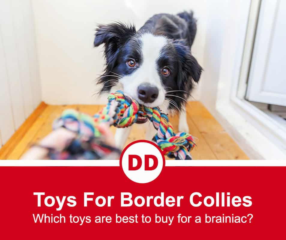 what are the best border collie toys? featured image